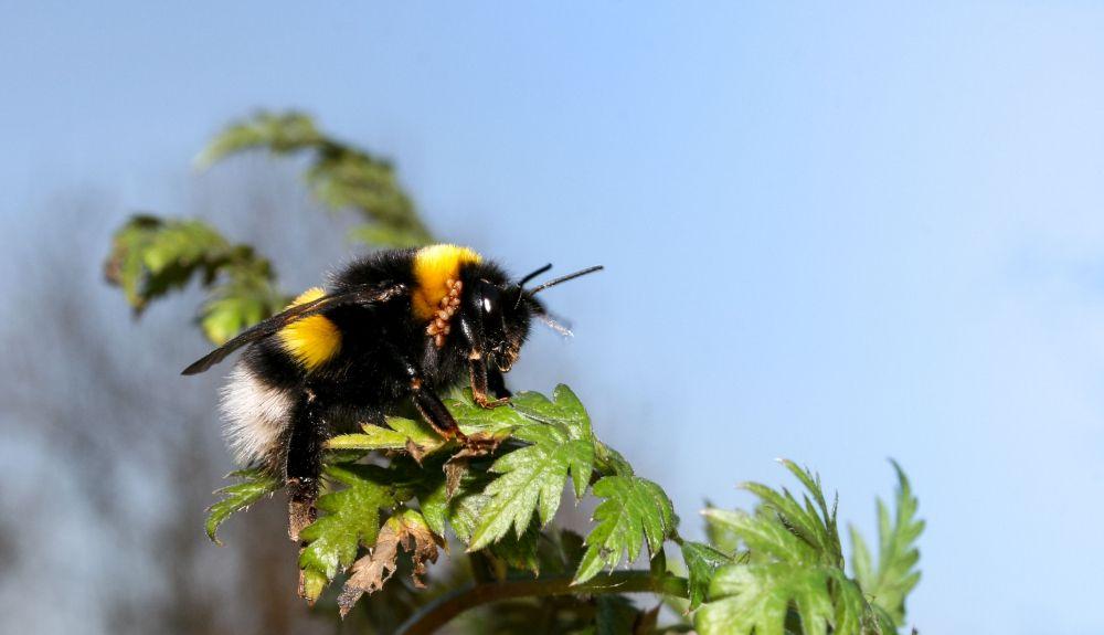 La ausencia de abejorros afectaría a la polinización de numerosas plantas.