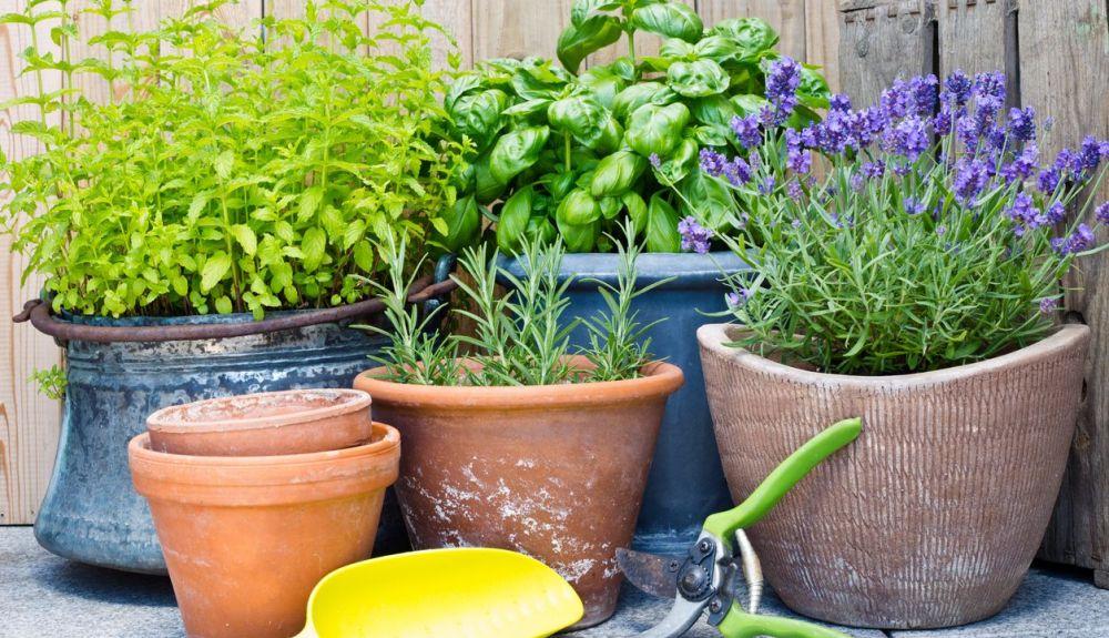 Para cultivar en maceteros sólo deberemos tener en cuenta las necesidades de amplitud de la planta.
