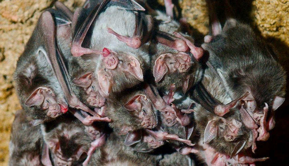 Los murciélagos también anteponen la prevención en sus relaciones. Foto: Josh More
